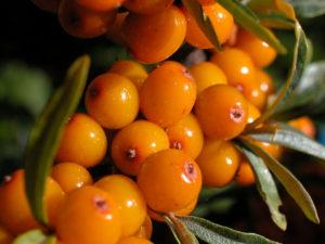 Havtornens bær er orange til gule, og meget skrøbelige