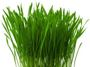 Hvedegræs er et næringsrigt kosttilskud