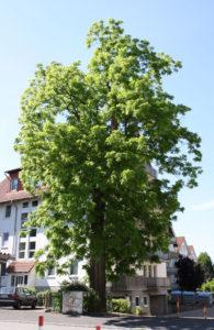 Juglans nigra er den latinske betegnelse for træet Sort valnød